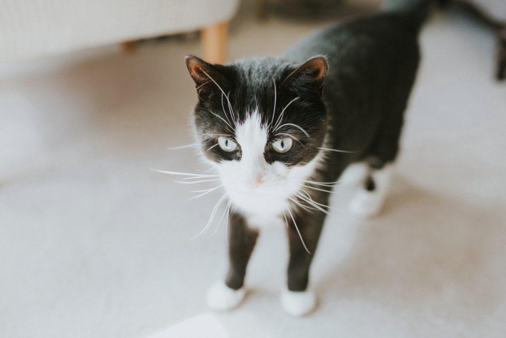 black and white wedding cat